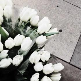 White Tulips 18