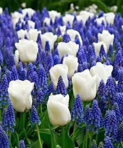 White Tulips 2