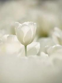 White Tulips 20