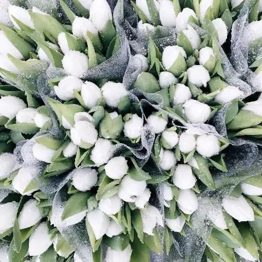 White Tulips 31
