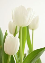 White Tulips 36