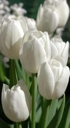 White Tulips 38