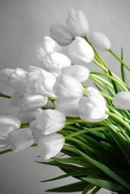 White Tulips 40