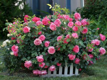 Beautiful Garden Rose Pink Flowers
