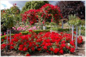 Beautiful Red Rose Gardens