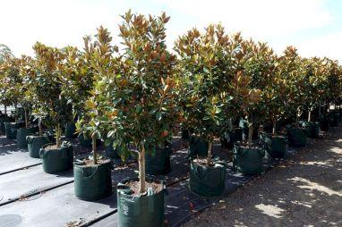 Best Little Gem Magnolia Tree