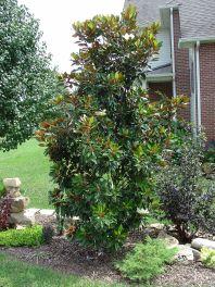 Dwarf Little Gem Magnolia Tree Ideas