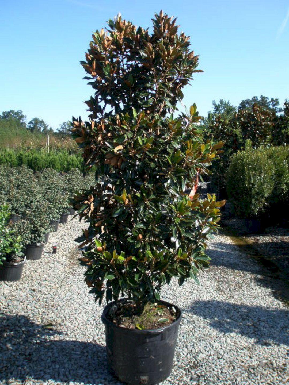 Dwarf Little Gem Magnolia Tree Decoredo