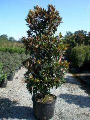 Dwarf Little Gem Magnolia Tree