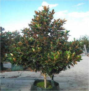 Little Gem Evergreen Magnolia Tree