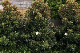 Little Gem Magnolia Hedge