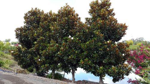 Little Gem Magnolia Tree Ideas