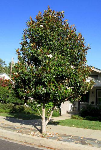 Little Magnolia Tree