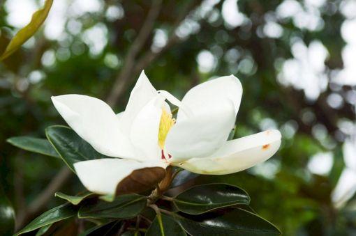 Magnolia Tree Information