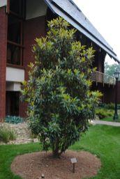 Magnolia Tree Little Gem Southern