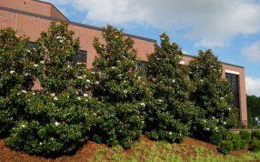 Magnolia Tree Little Gem Southerns