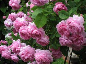 Old English Rose Gardens