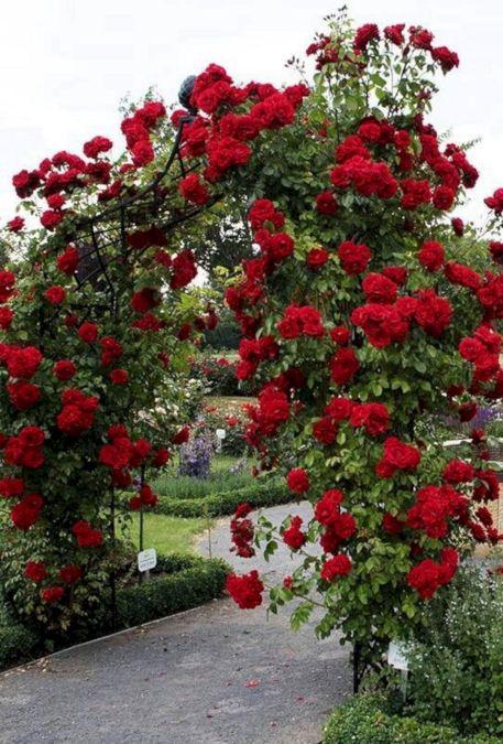 Red Climbing Roses On Trellis