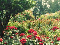 Red Rose Garden Ideas
