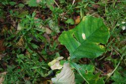 American Ginseng Plant Identification Ideas