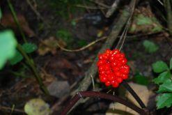 American Ginseng Plants Identification