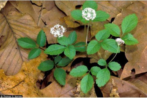 Dwarf Ginseng Plant