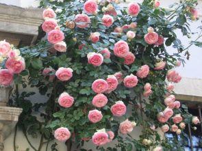 Awesome Eden Climbing Rose Ideas