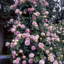 Awesome Eden Climbing Rose