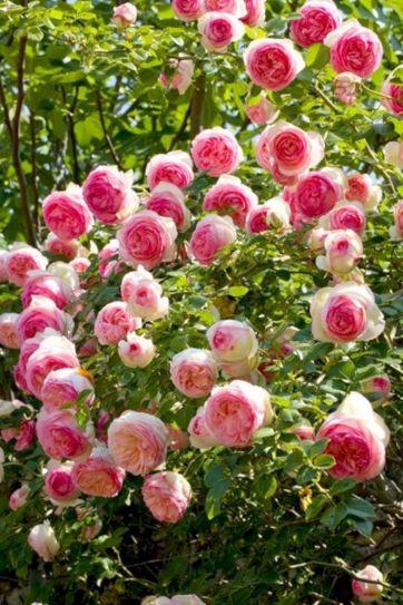 Beautiful Eden Climbing Rose