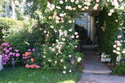 Beautiful Eden Rose