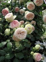Climbing Eden Rose Climbe