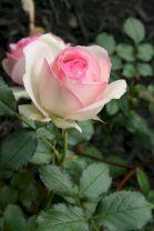 Eden Climbing Rose Idea