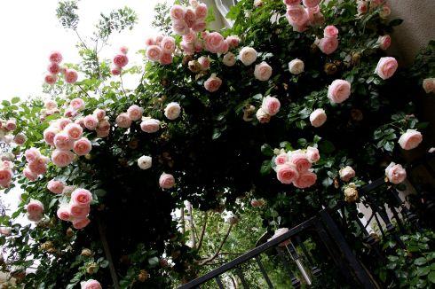 Eden Climbing Rose Ideas