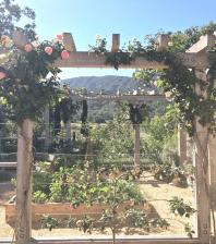 Most Beautiful Rose in garden Design
