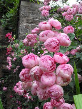 Most Beautiful Rose in garden