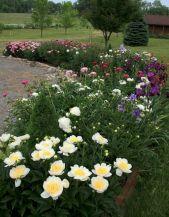 Garden Border Peony