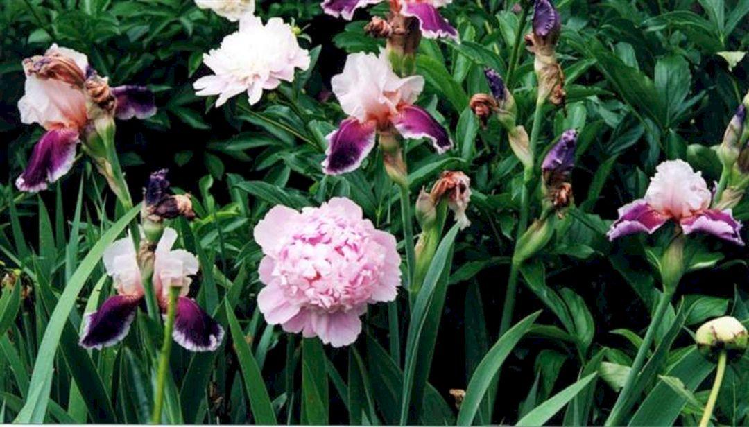 Iris Peonies Garden Design