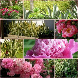 Peony Garden Design Idea