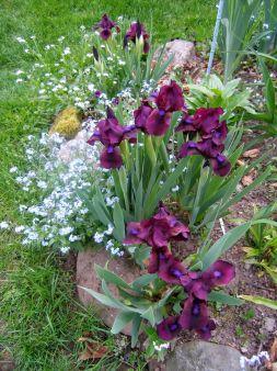 Beautiful Iris Garden Ideas 7