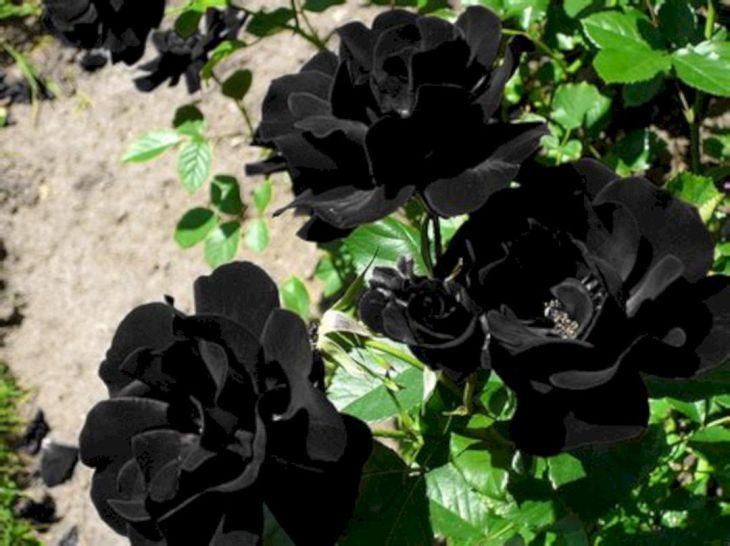 Black Flower Garden Ideas 4