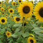 Sun Flower Garden Design