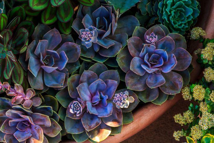 Succulent Echeveria 01