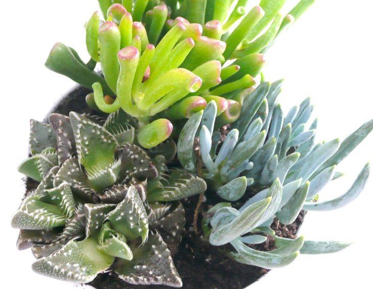 Succulent Jade 001