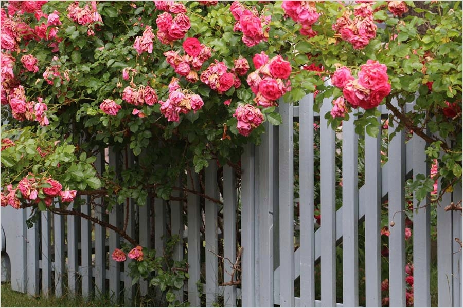 40 Best and Beautiful Climbing Flowers for Fences 92 Climbing Perennials 4 Great Plants for Fences Arbors and More 6