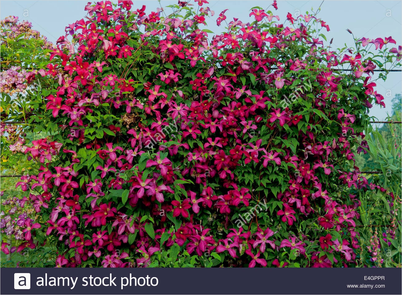 40 Best and Beautiful Climbing Flowers for Fences 98 Clematis Madame Julia Correvon Climbing Fence Divider West Dean Stock Royalty Free Image 5