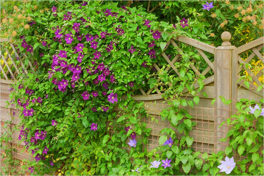 40 Best and Beautiful Climbing Flowers for Fences 59 the Best Climbing Plants for Your Garden Fence or Wall 5
