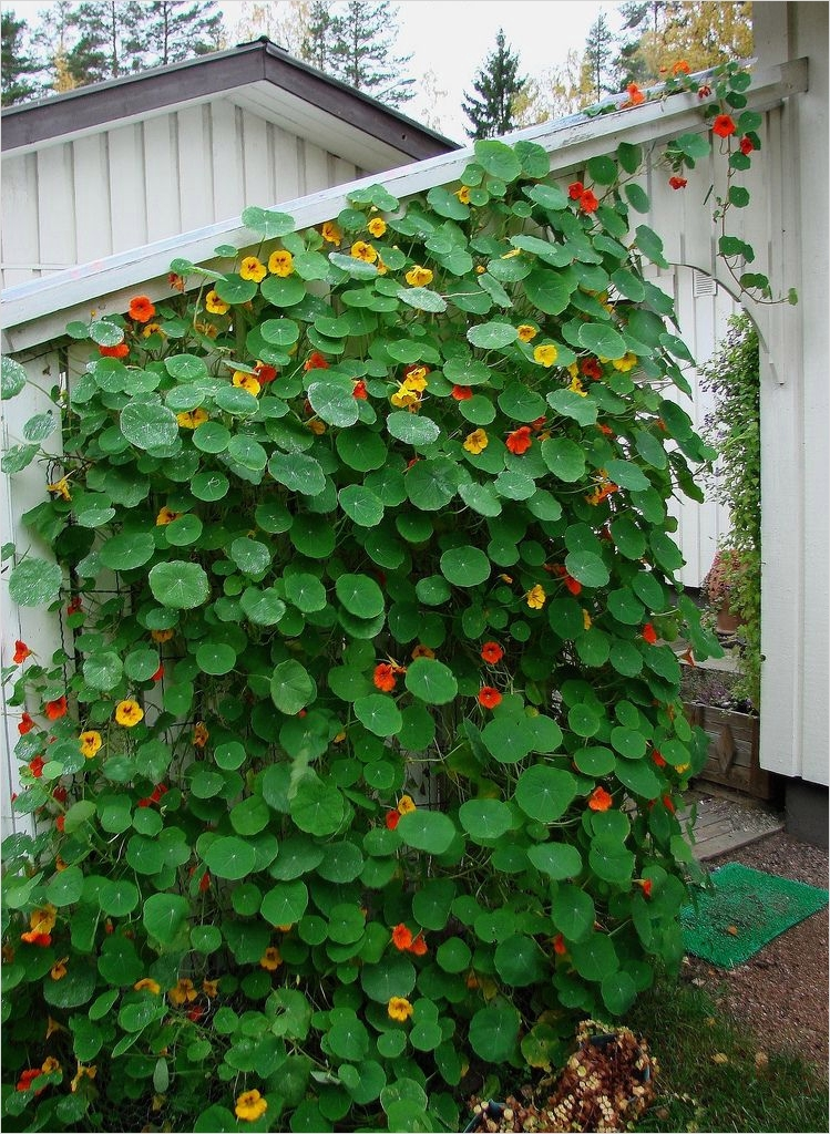 40 Best and Beautiful Climbing Flowers for Fences 25 Climbing Nasturtium Edible Flowers Good In Salads Eila Kuivalainen On Flickr 3