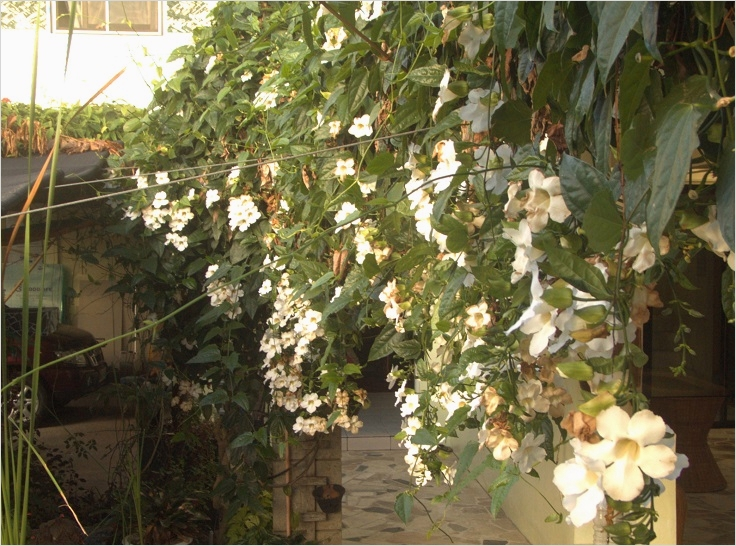 40 Best and Beautiful Climbing Flowers for Fences 51 top 10 Beautiful Climbing Plants for Fences and Walls 3
