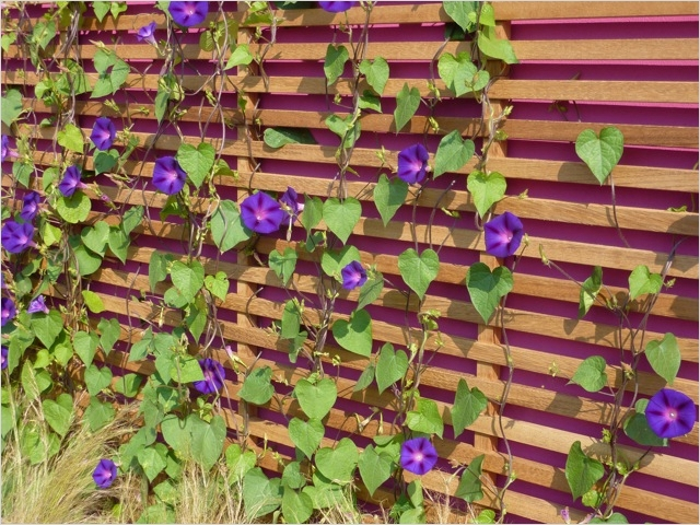 40 Best and Beautiful Climbing Flowers for Fences 42 Fences and Screens 3