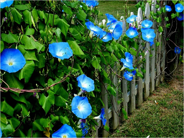 40 Best and Beautiful Climbing Flowers for Fences 87 Bring Life to Your Garden with A Buchanan Fence Contractor 4